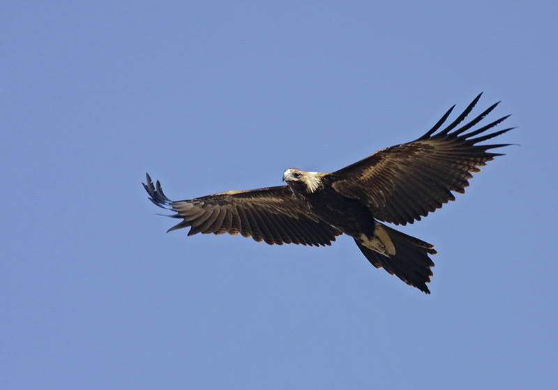 Australian Wedge Tail Eagle (Malian)